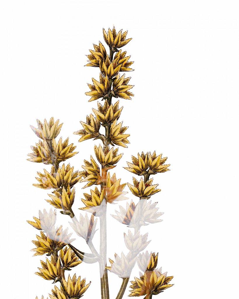 Flora Danica III,  Tab. 6
