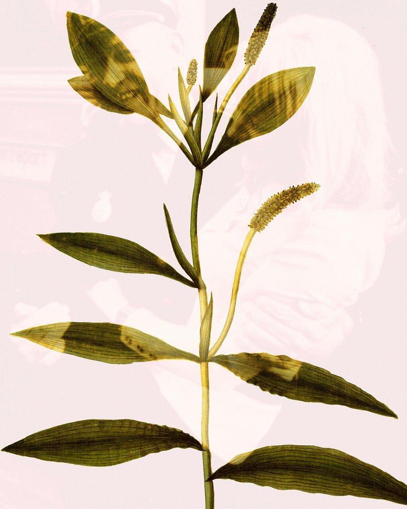 Flora Danica III,  Tab. 10
