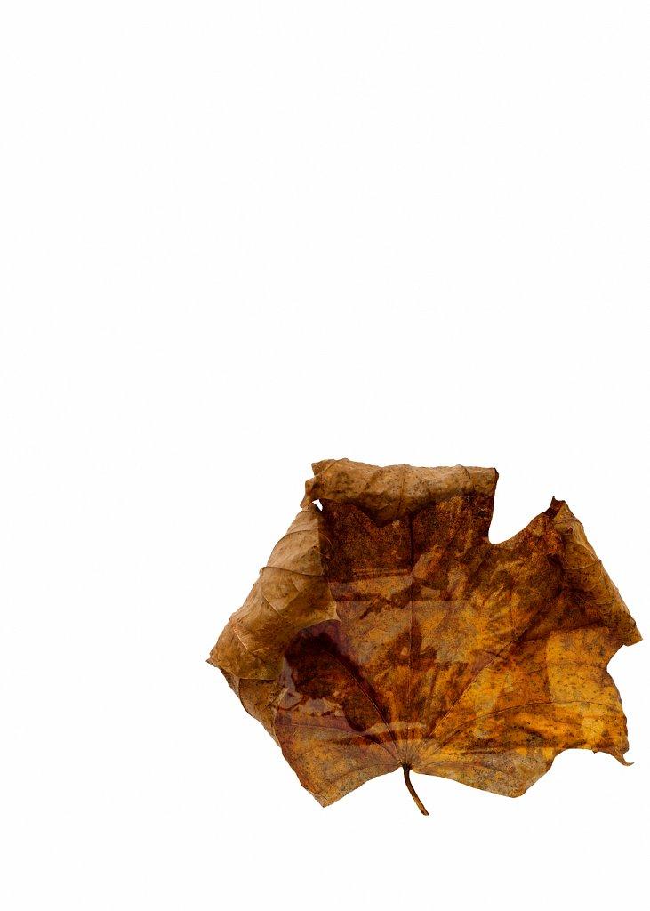 Human Leaves no. 11